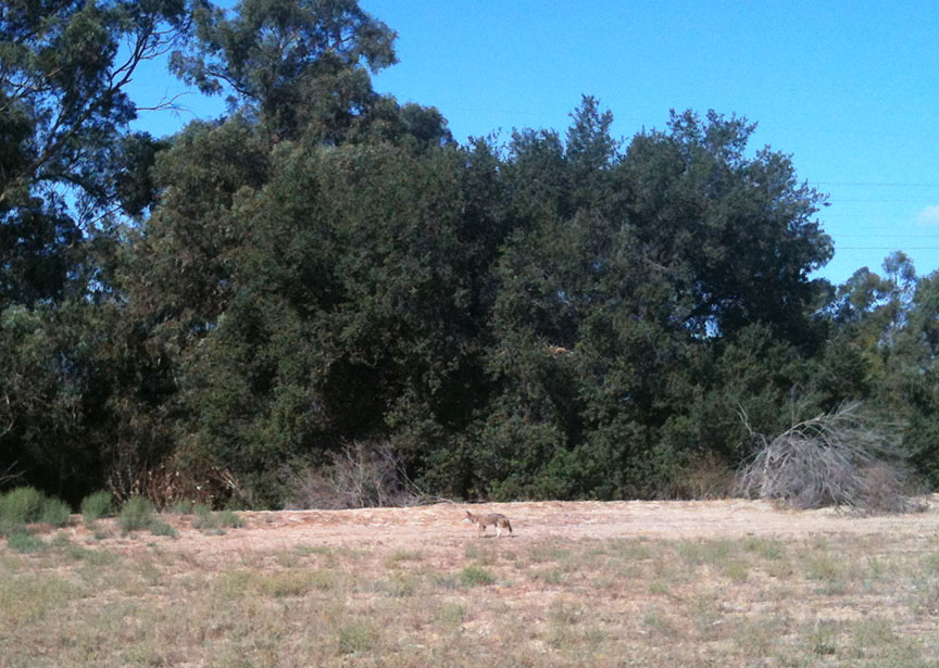 Coyote Kimball Park Ventura