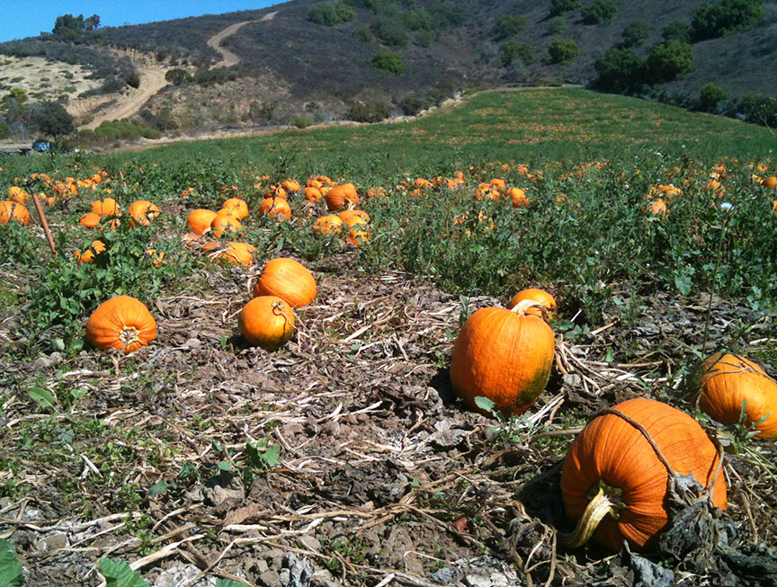 Pumpkin Patch Ventura