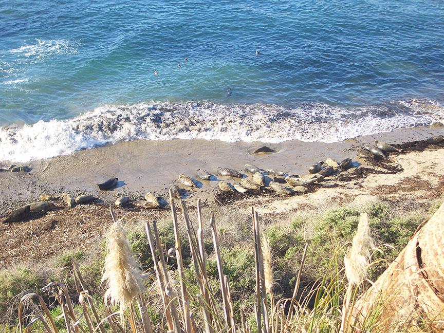 Carpinteria Seal Rookery