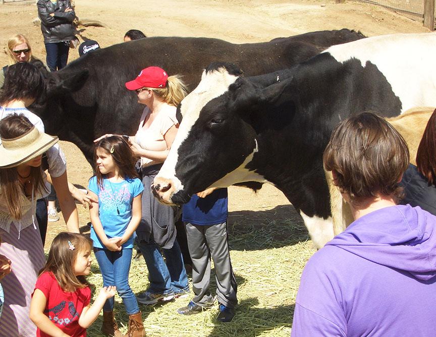 Farm Sanctuary cows