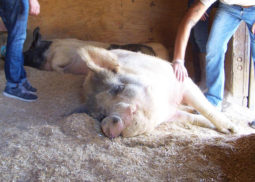 Farm Sanctuary pigs