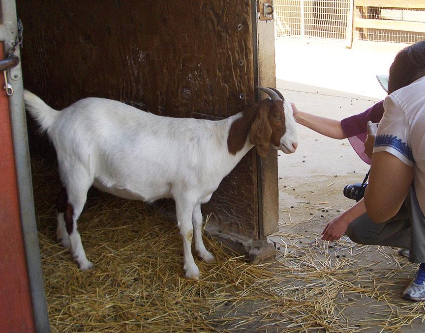 Farm Sanctuary goats
