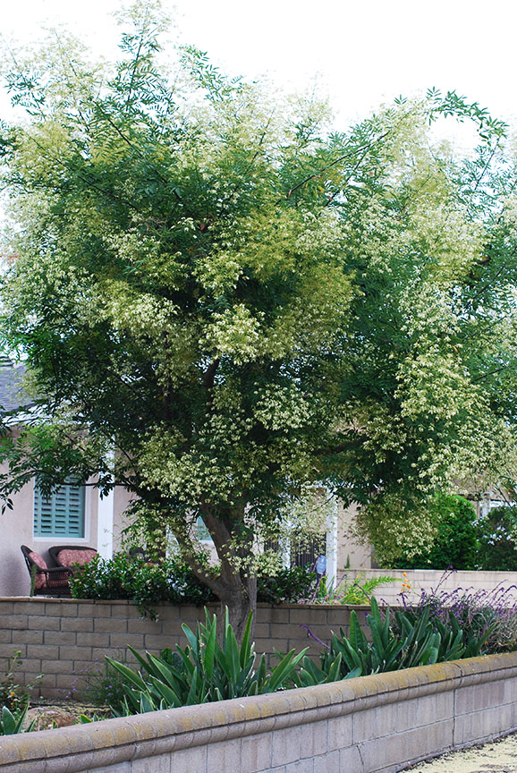 Tree in front yard Ventura