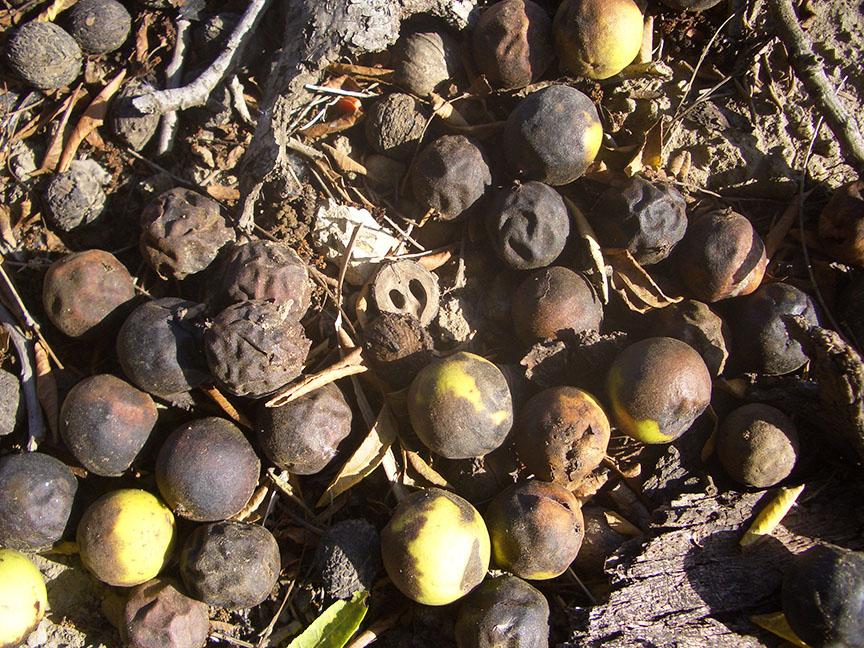 Walnut trees Ventura