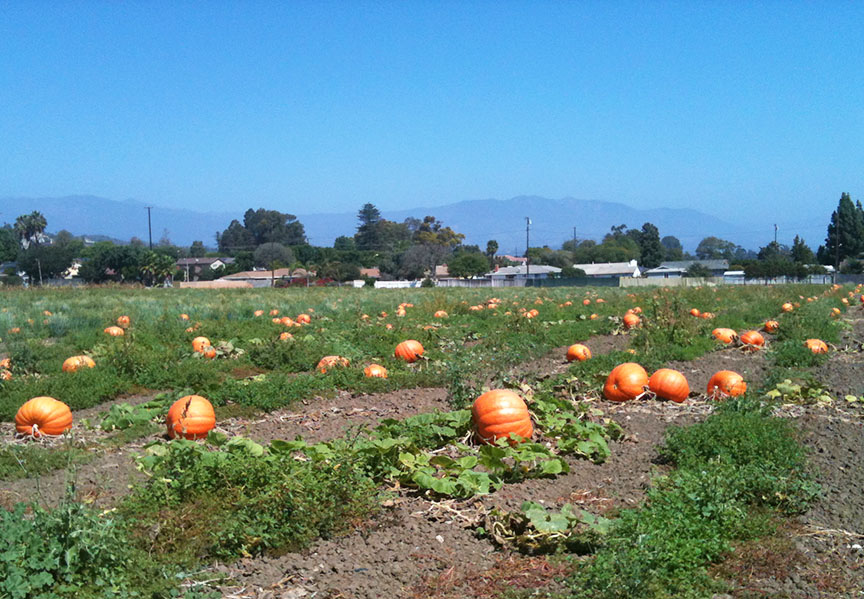 Pumpkin fields Ventura