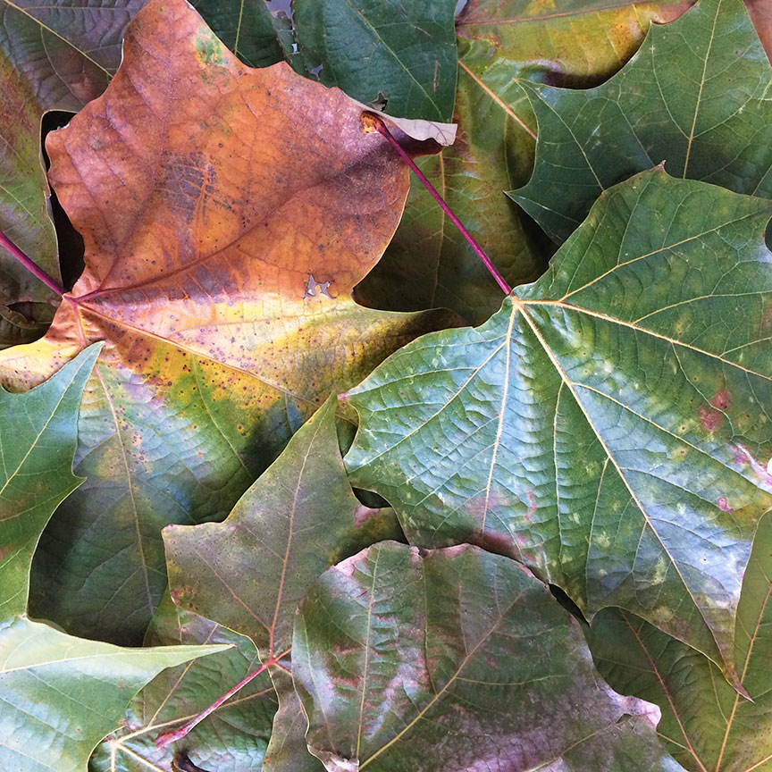 London Plane Tree Leaves